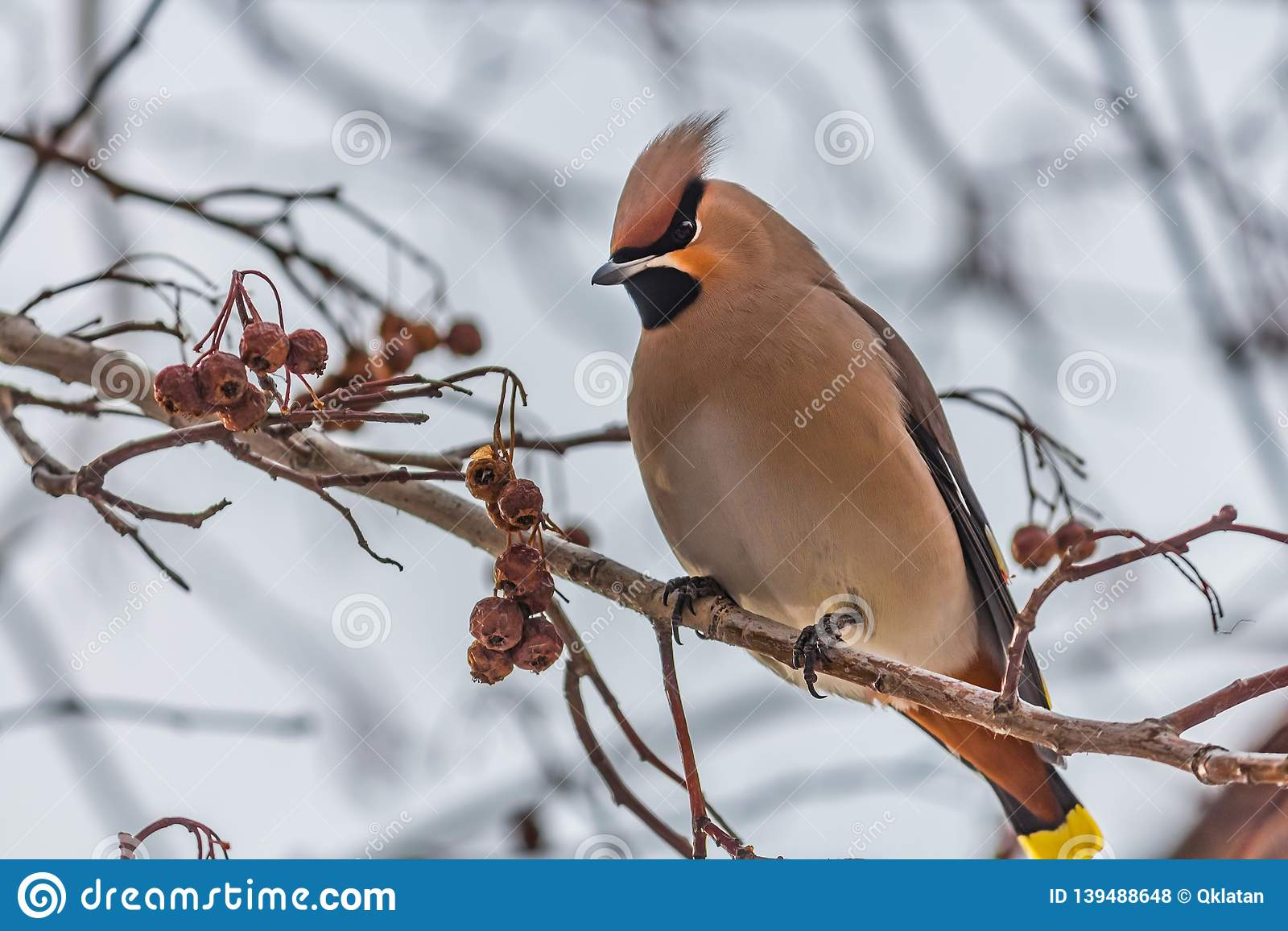 A fun gray and orange Bohemian waxwing Bombycilla garrulus eats a red small apple on a branch of wild apple tree in the