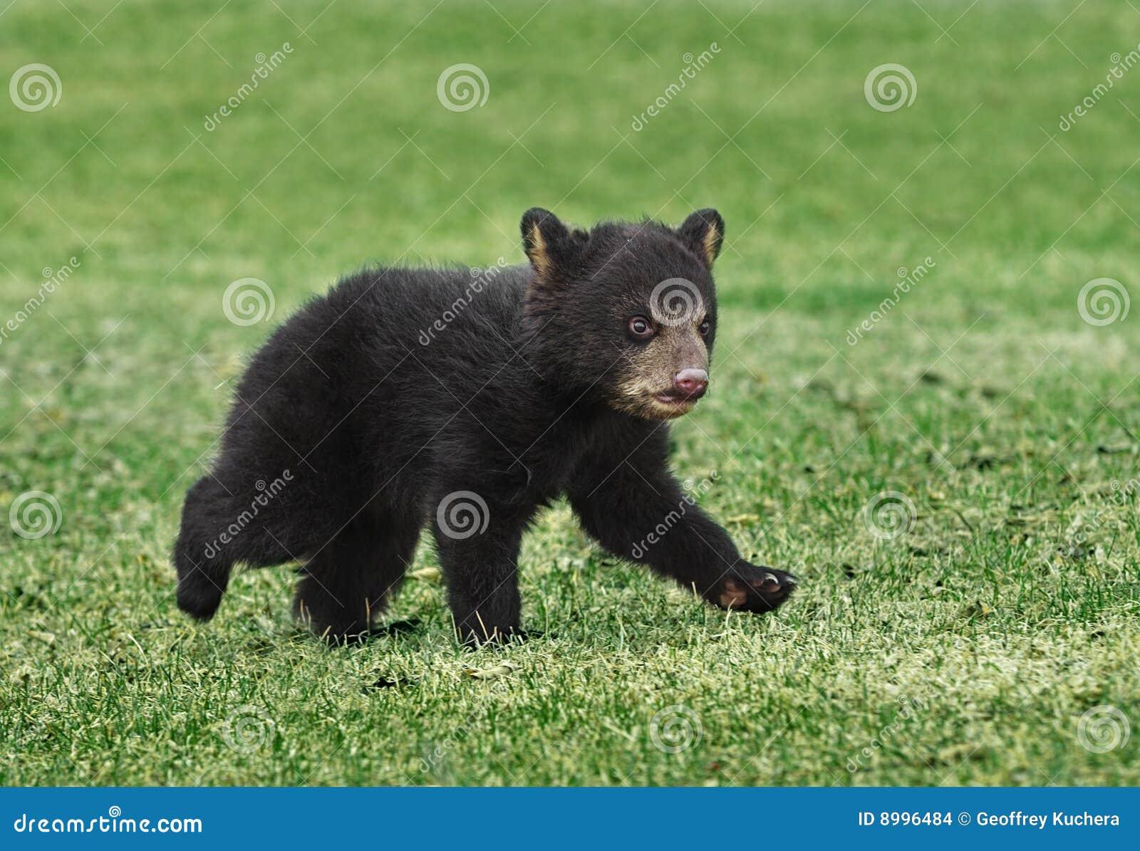Funcionamentos americanos de Cub de urso preto através da grama