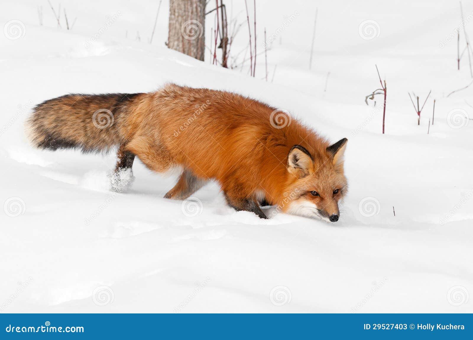 Funcionamentos do Fox vermelho (vulpes do Vulpes) através do visor Eyeing da neve