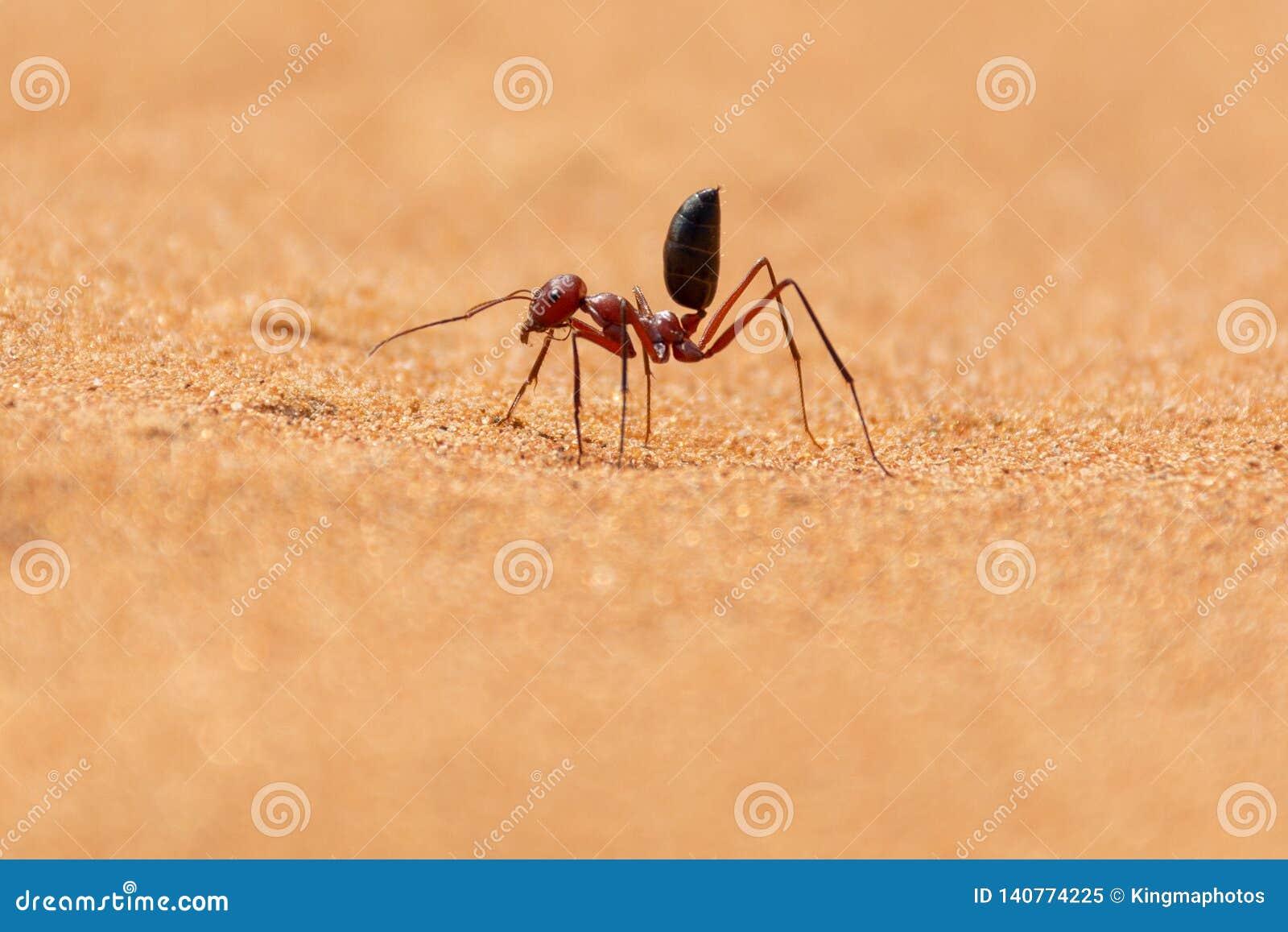 Funcionamiento bicolor de Sahara Desert Ant Cataglyphis a lo largo de las dunas de arena