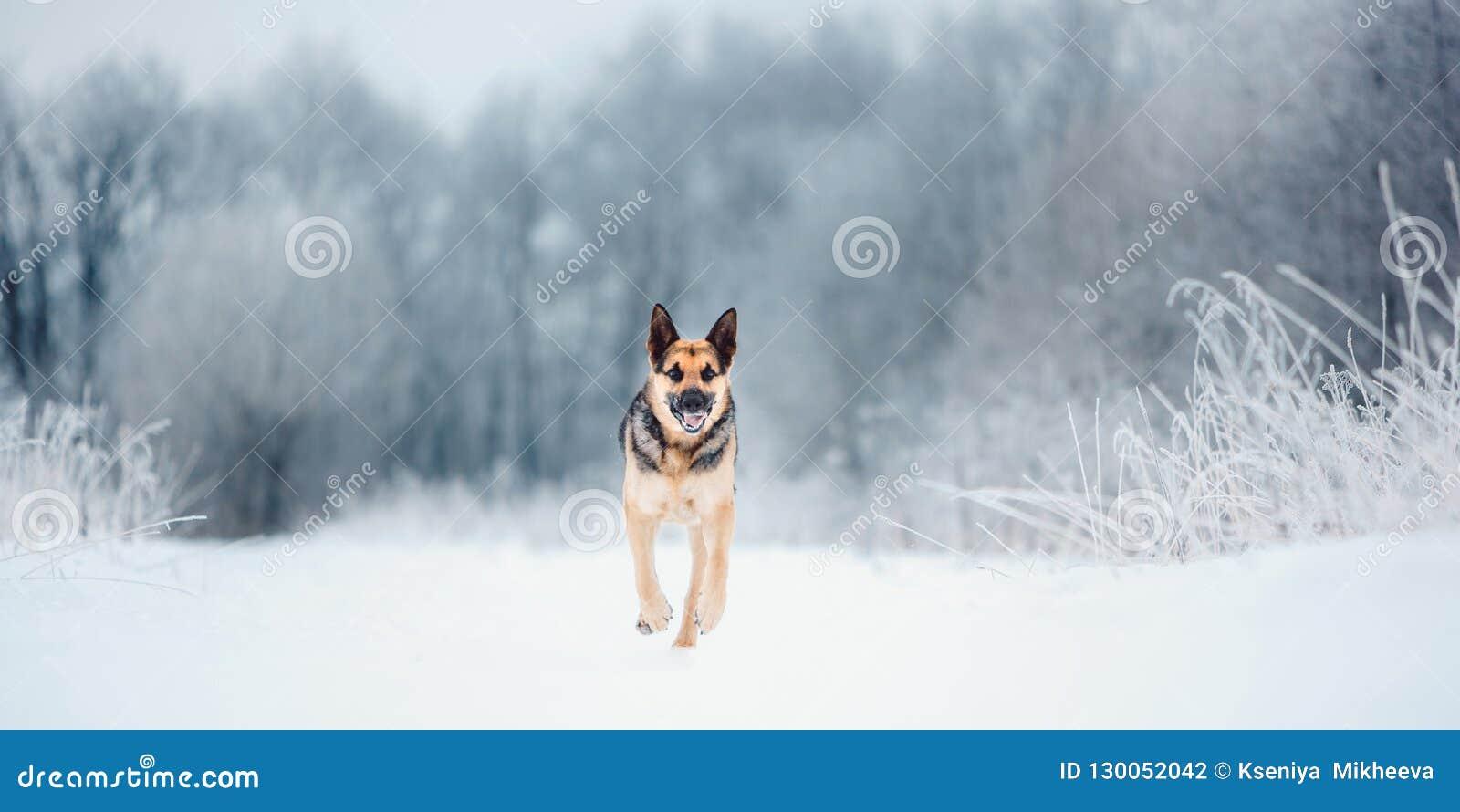 Funcionamiento de Europa del Este hermoso del pastor en el invierno que nieva