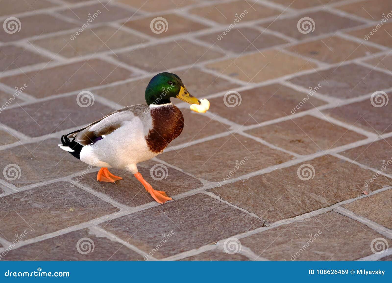 Funcionamientos divertidos del pato macho con la comida