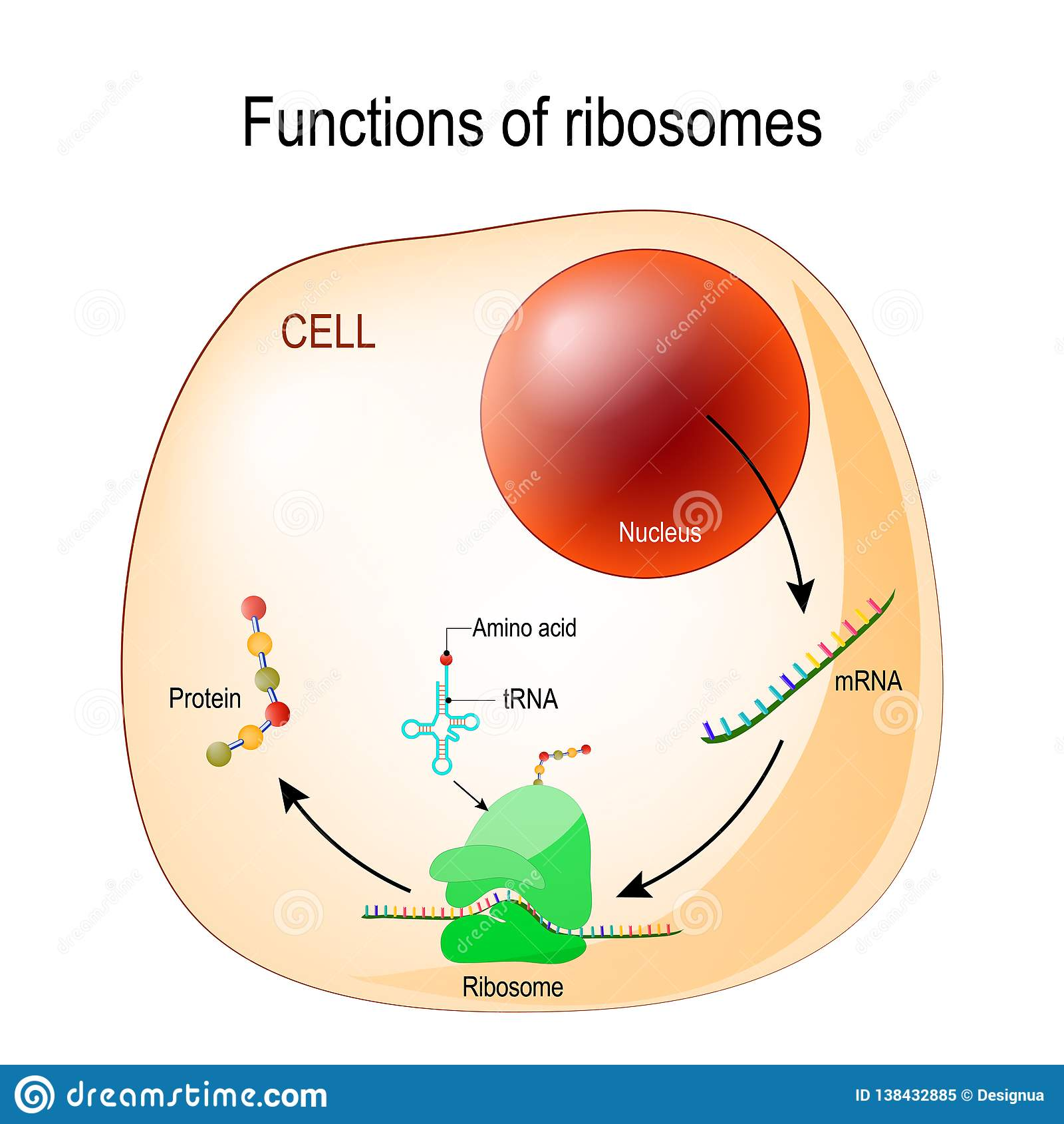 function of ribosomes  cell with organelles: nucleus, mrna, proteins, trna  and ribosome  process of translating mrna into protein  vector for medical,