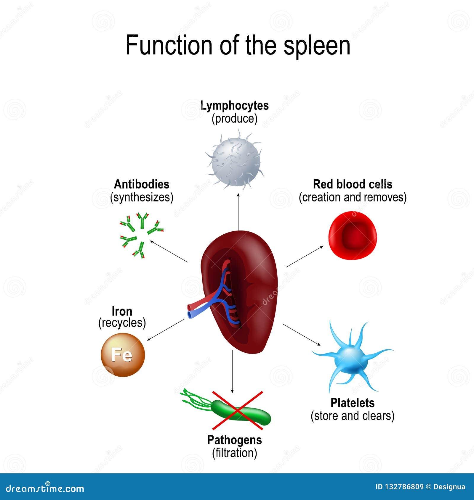 Function Of The Spleen Stock Vector Illustration Of Health 132786809