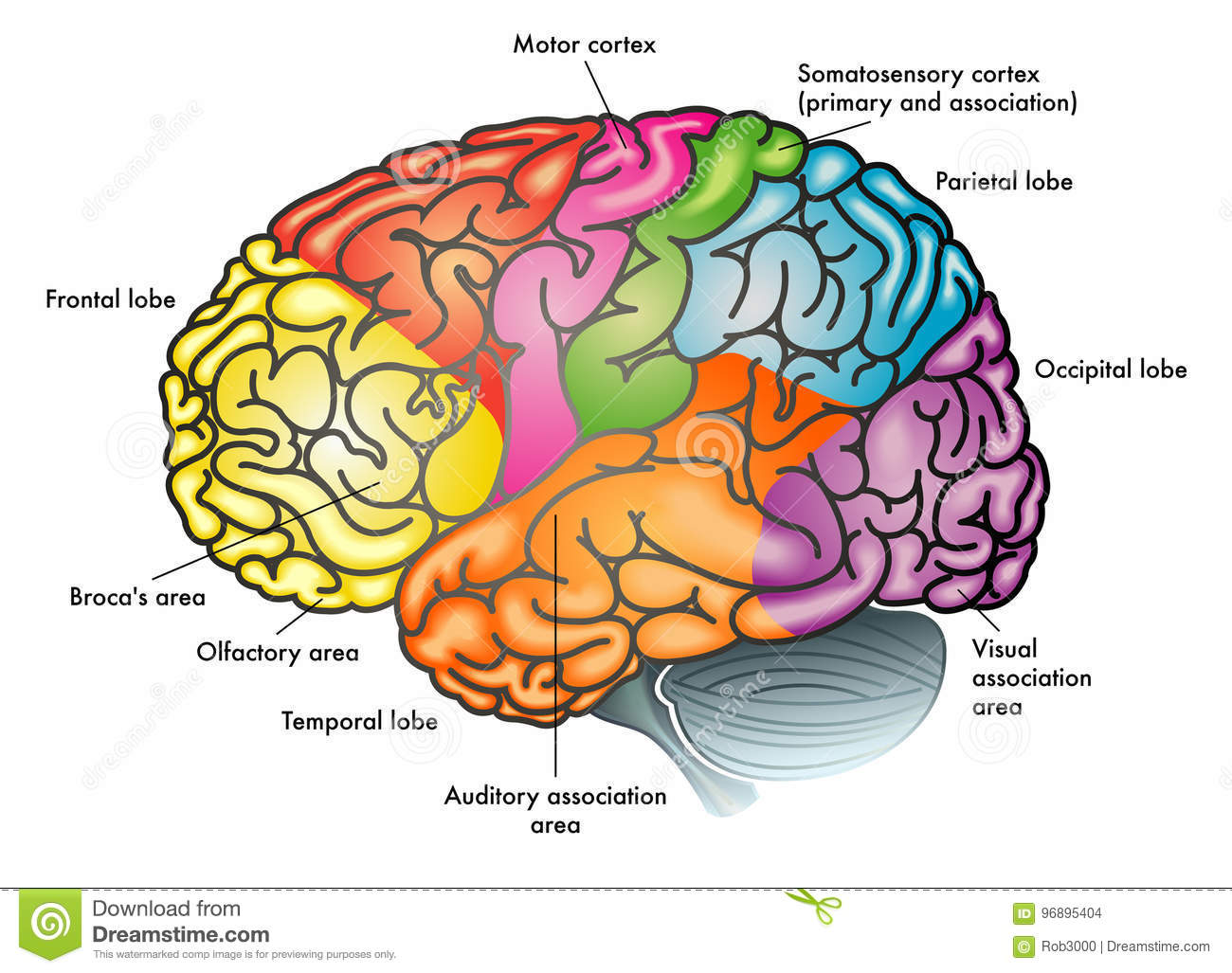 Functional Diagram Of Human Brain Stock Vector - Illustration of ...