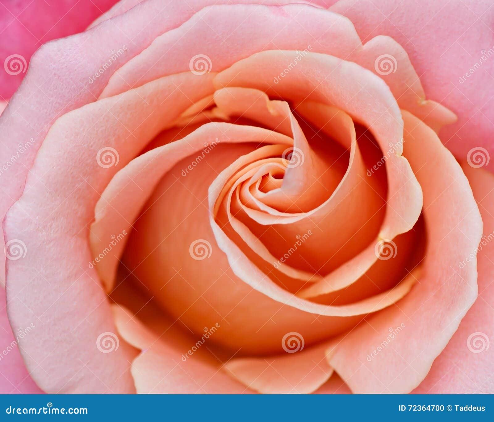 Fundo abstrato de uma rosa