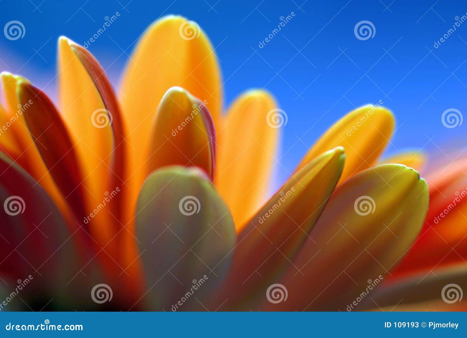 Fundo alaranjado do azul da flor