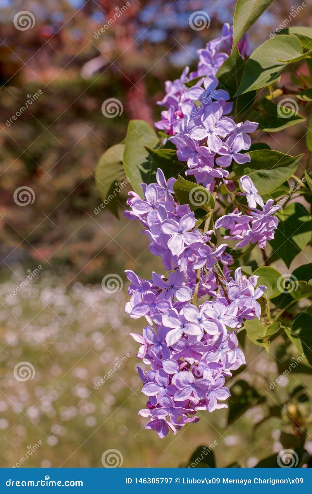 Fundo borrado abstrato com bokeh e ramo de florescência do lilás ou do syringa na primavera Papel de parede da natureza da mola