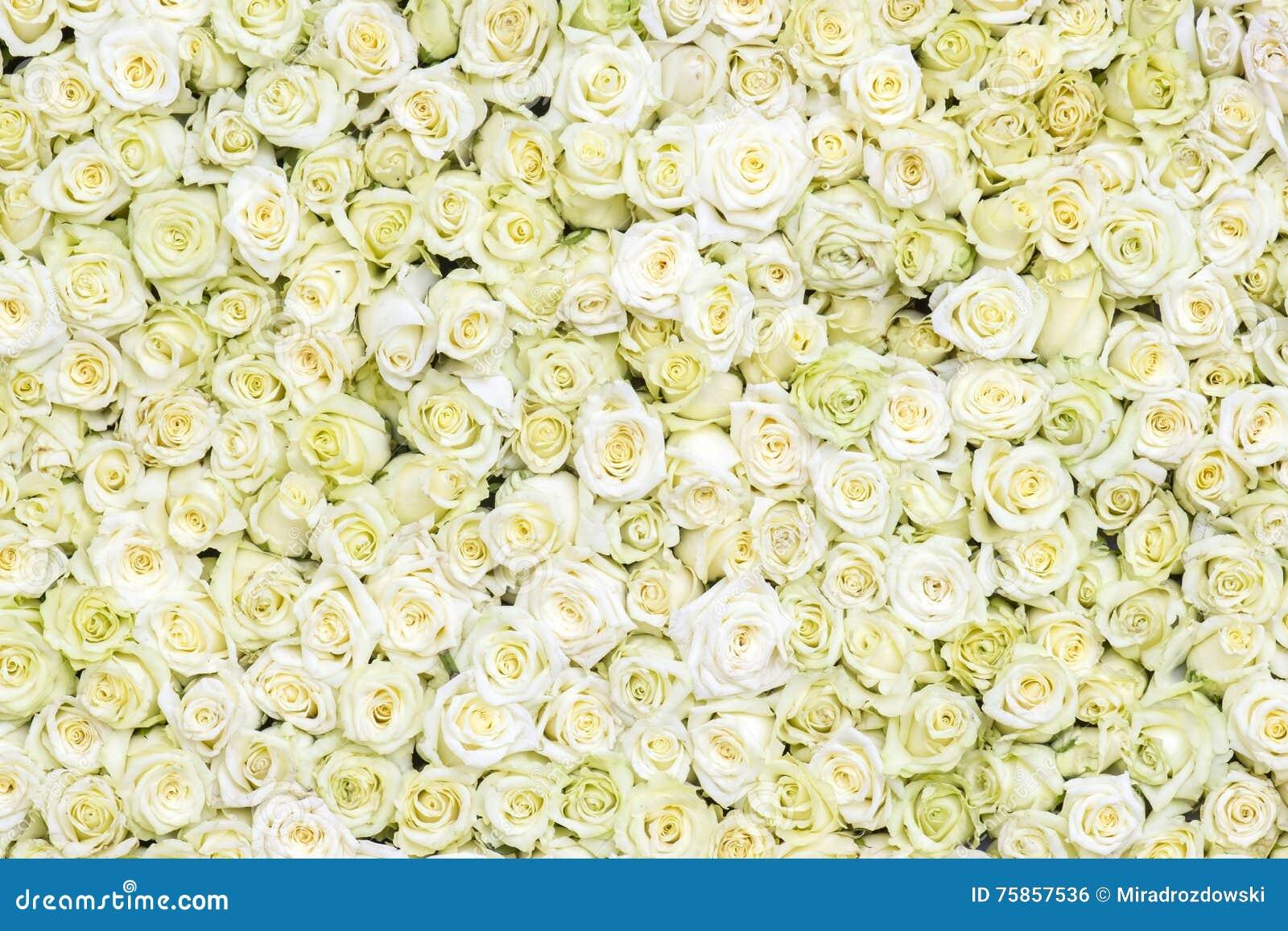 Fundo branco das rosas