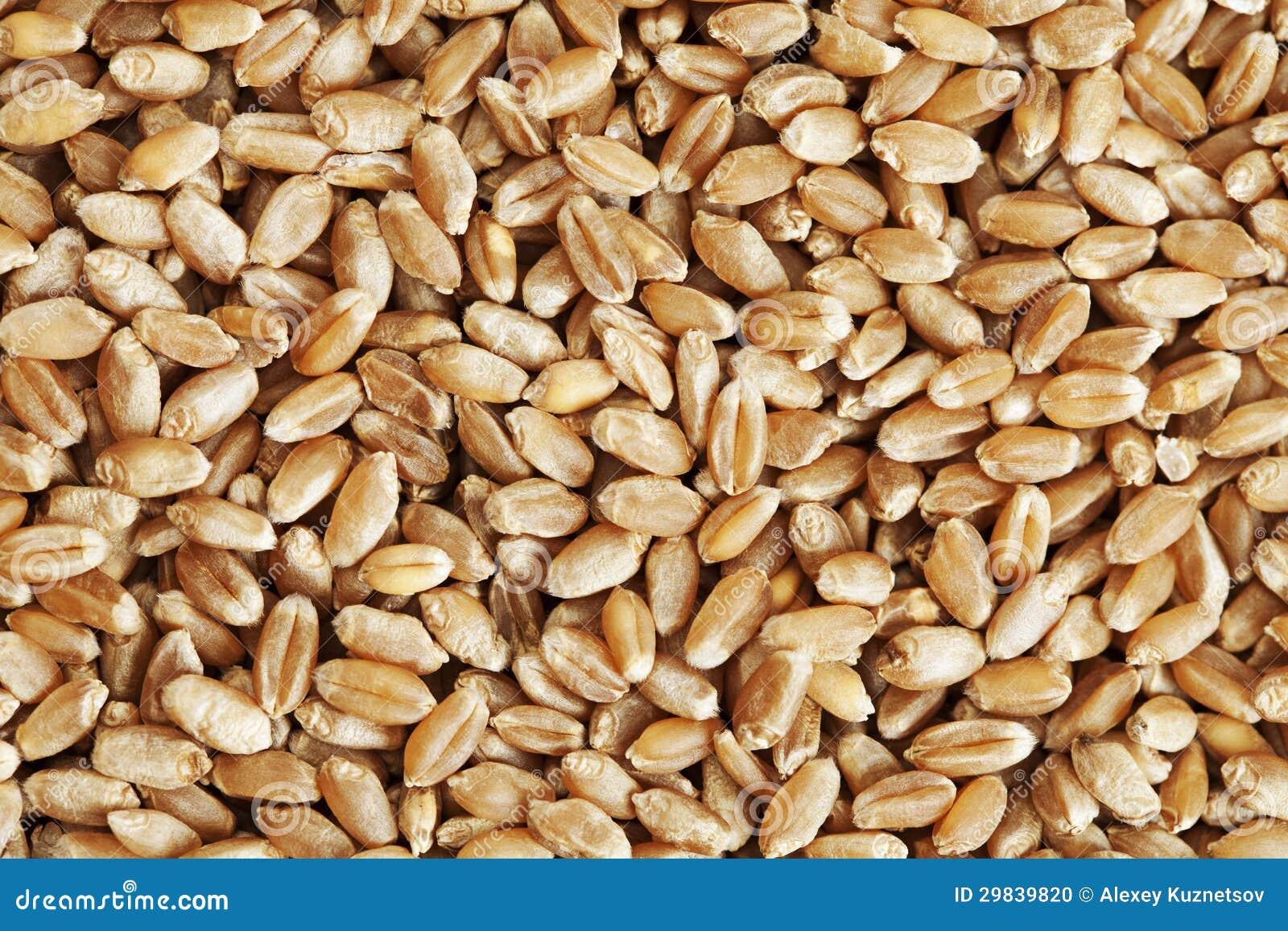 Grão do close up do trigo