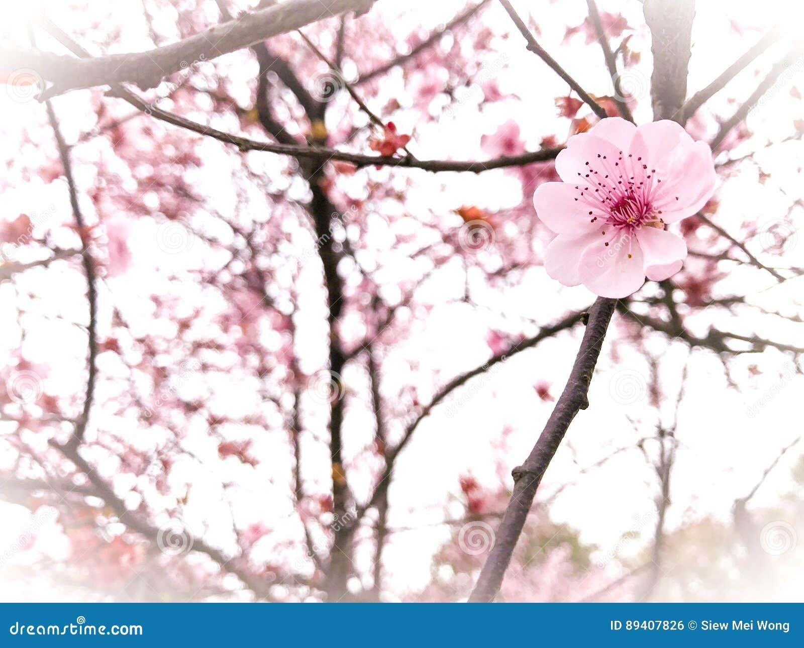 Fundo da flor de cerejeira da primavera