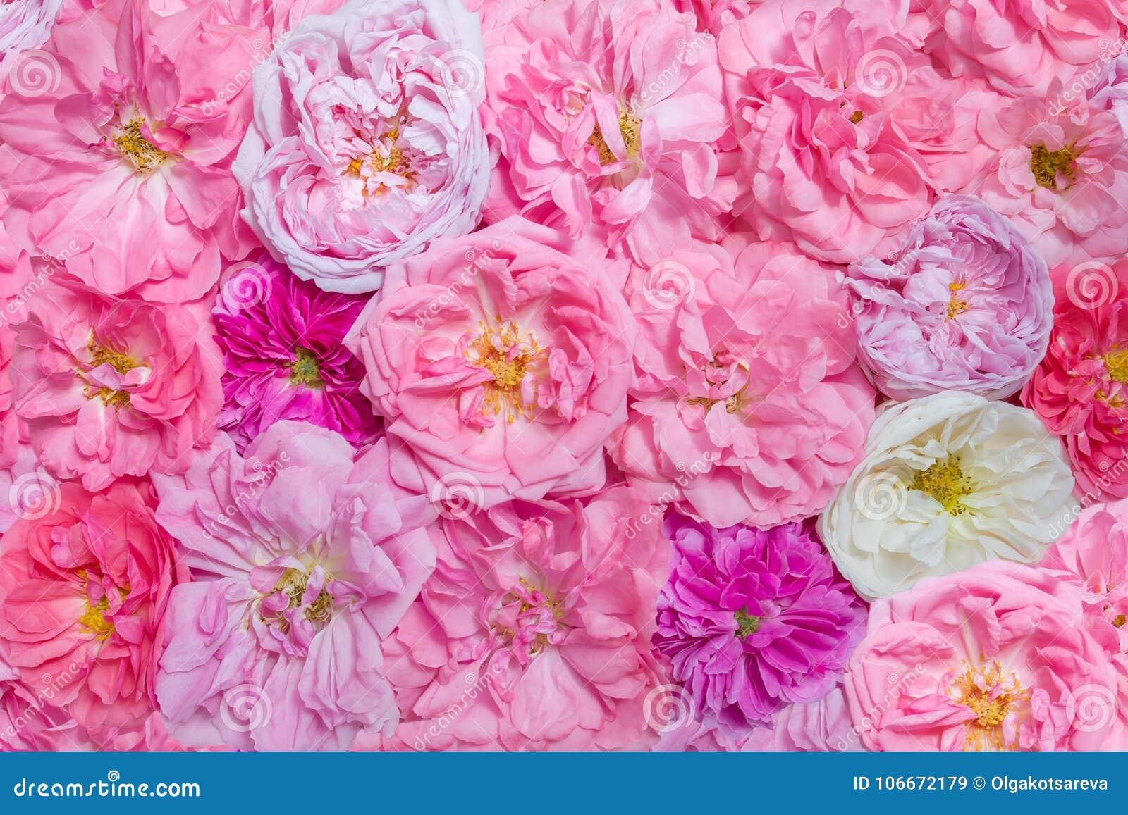 Fundo da flor de Rosa, vista superior Rosas gallic francesas do rosa e as brancas do vintage