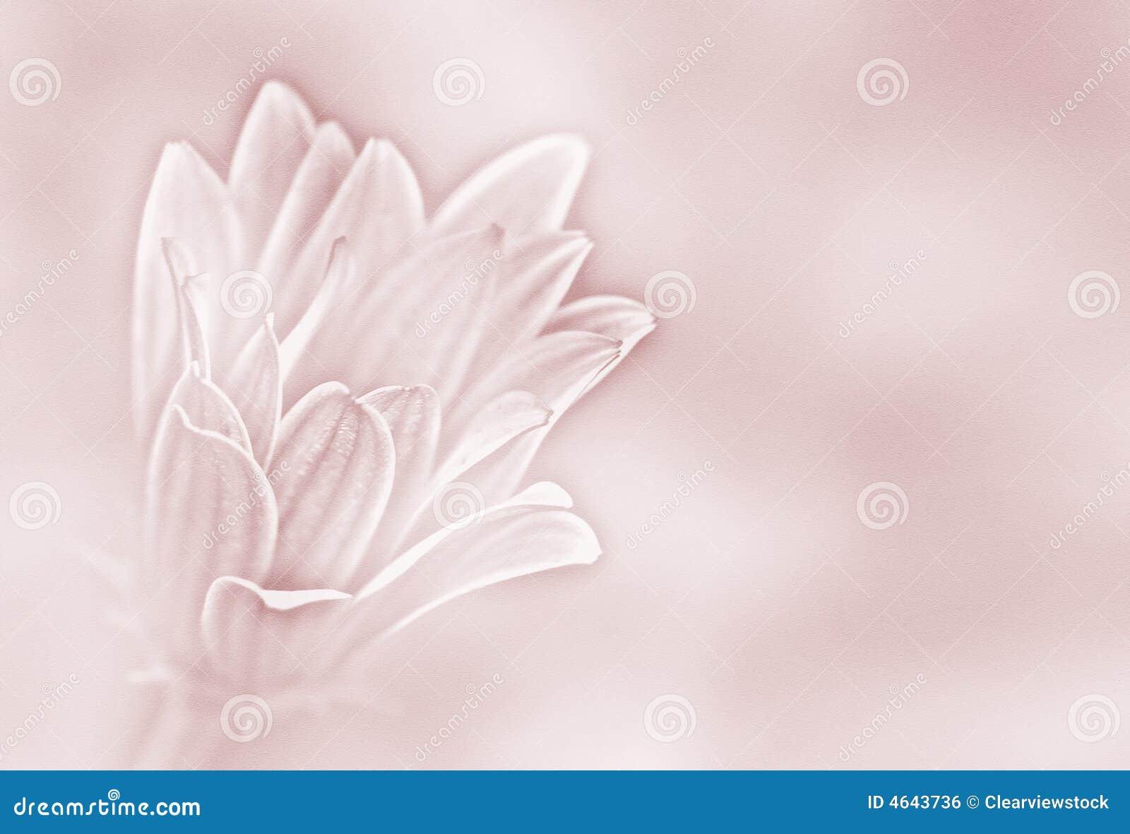 Fundo da margarida de papel cor-de-rosa