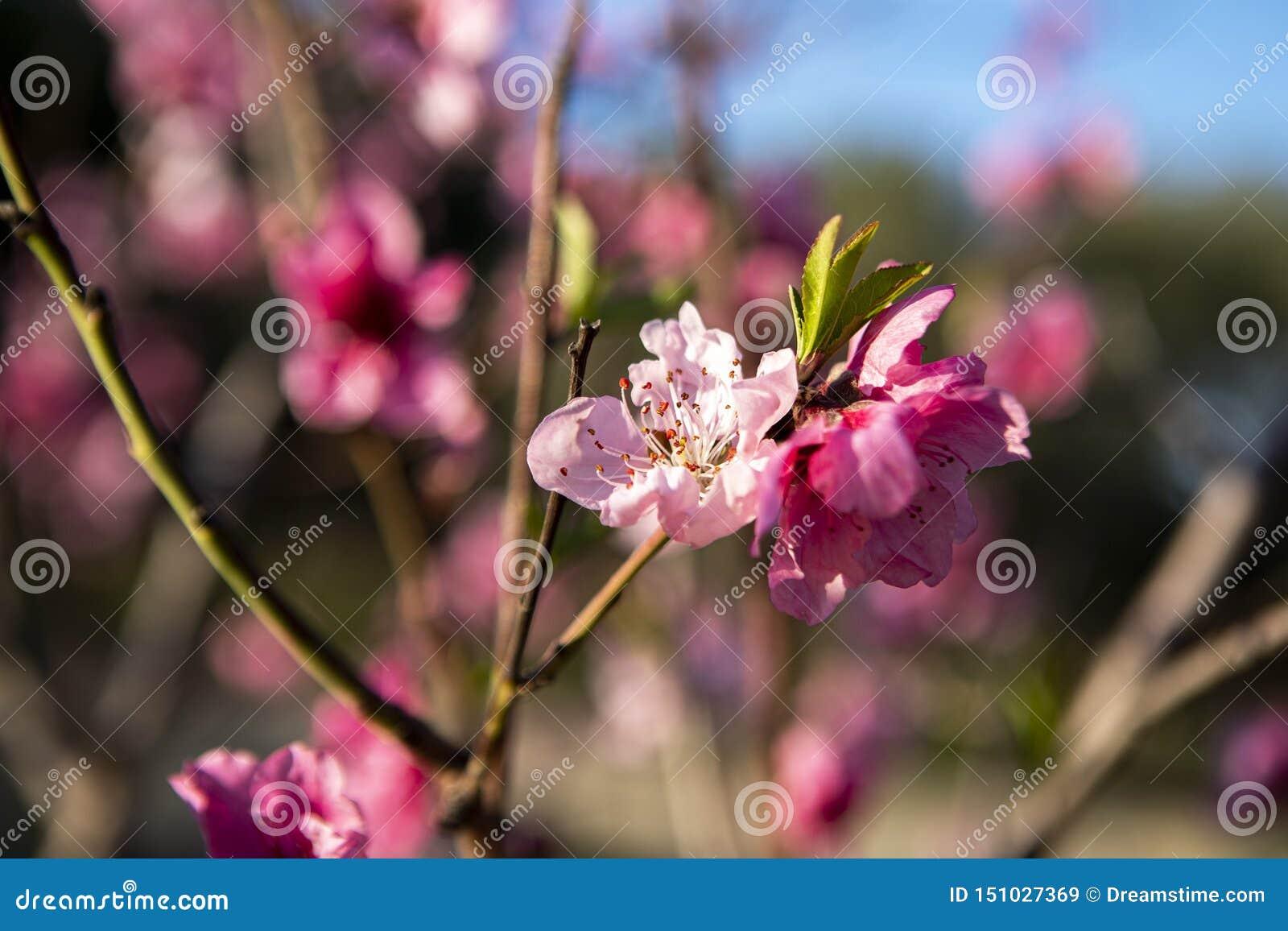 Fundo da natureza da flor do rosa da flor da árvore de pêssego