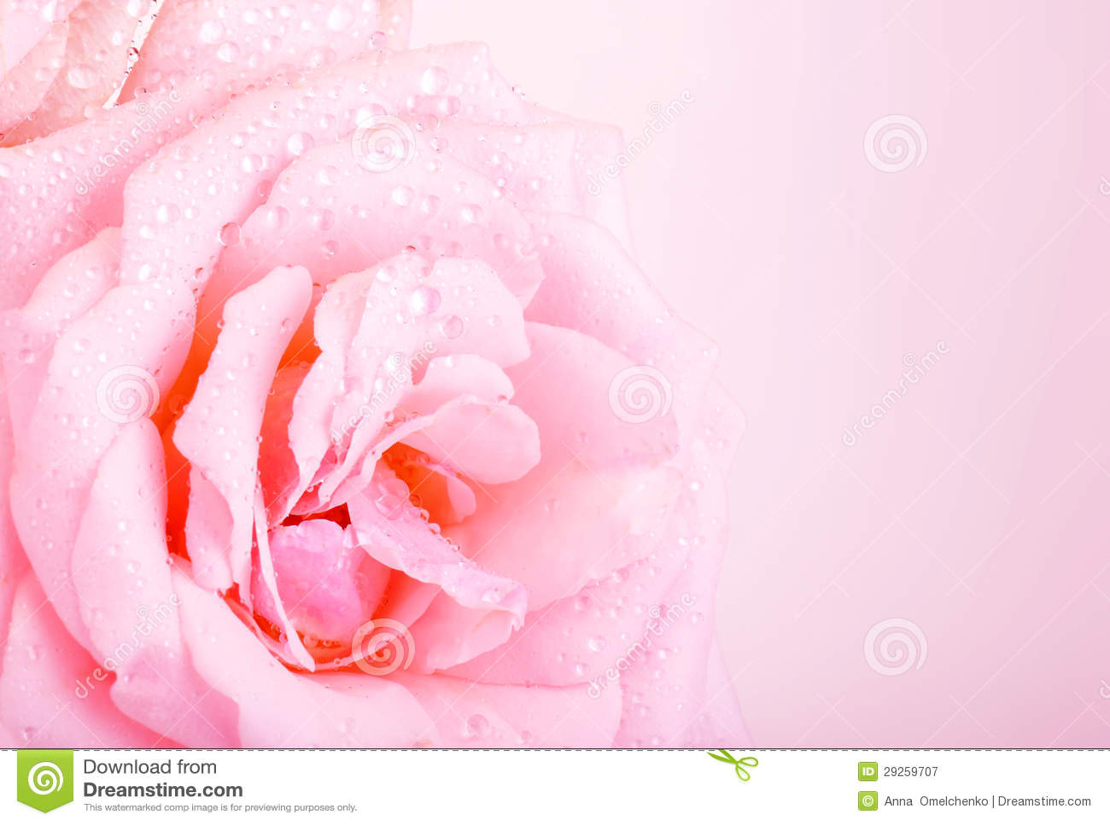 Fundo da rosa do rosa