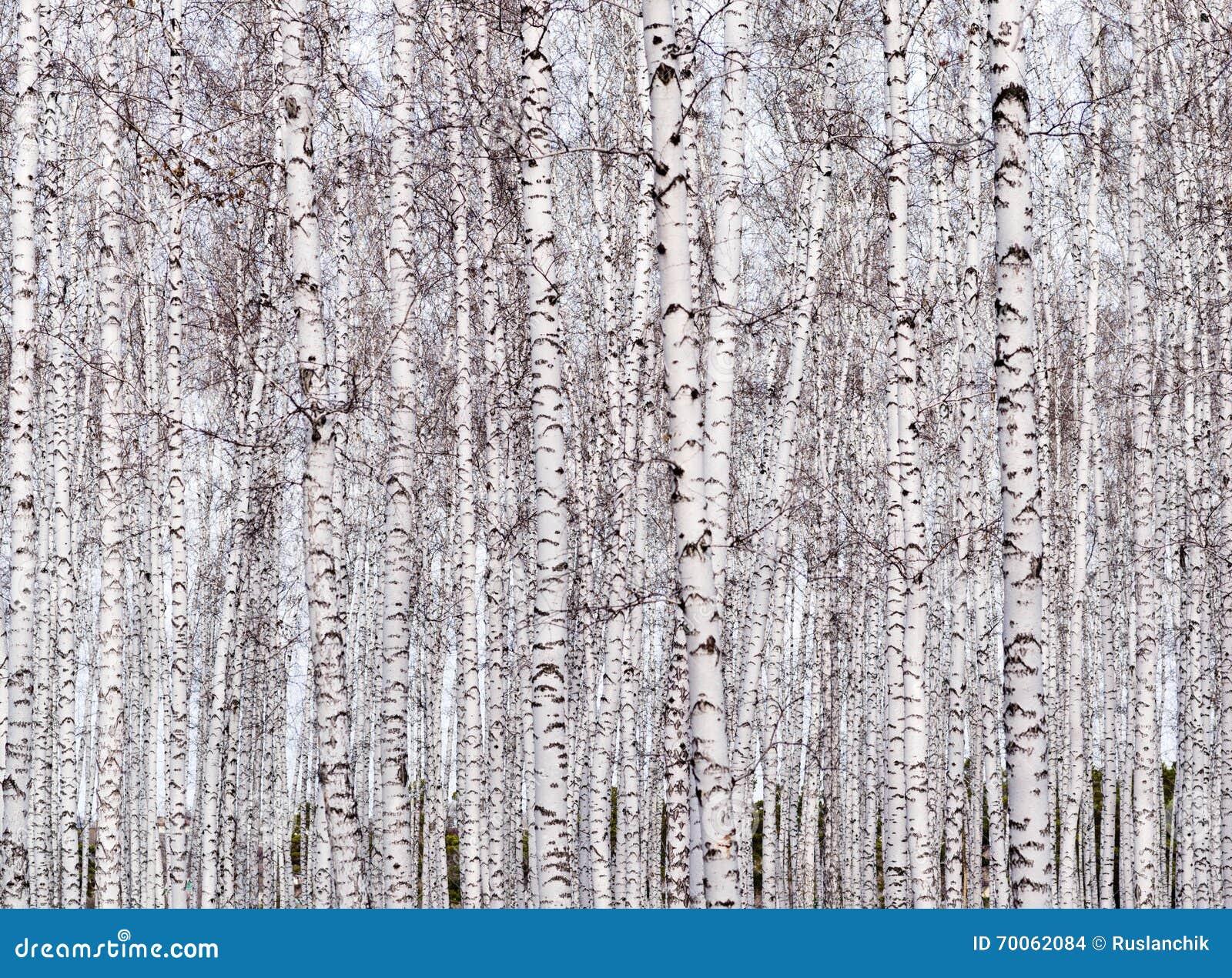 Fundo das árvores de vidoeiro