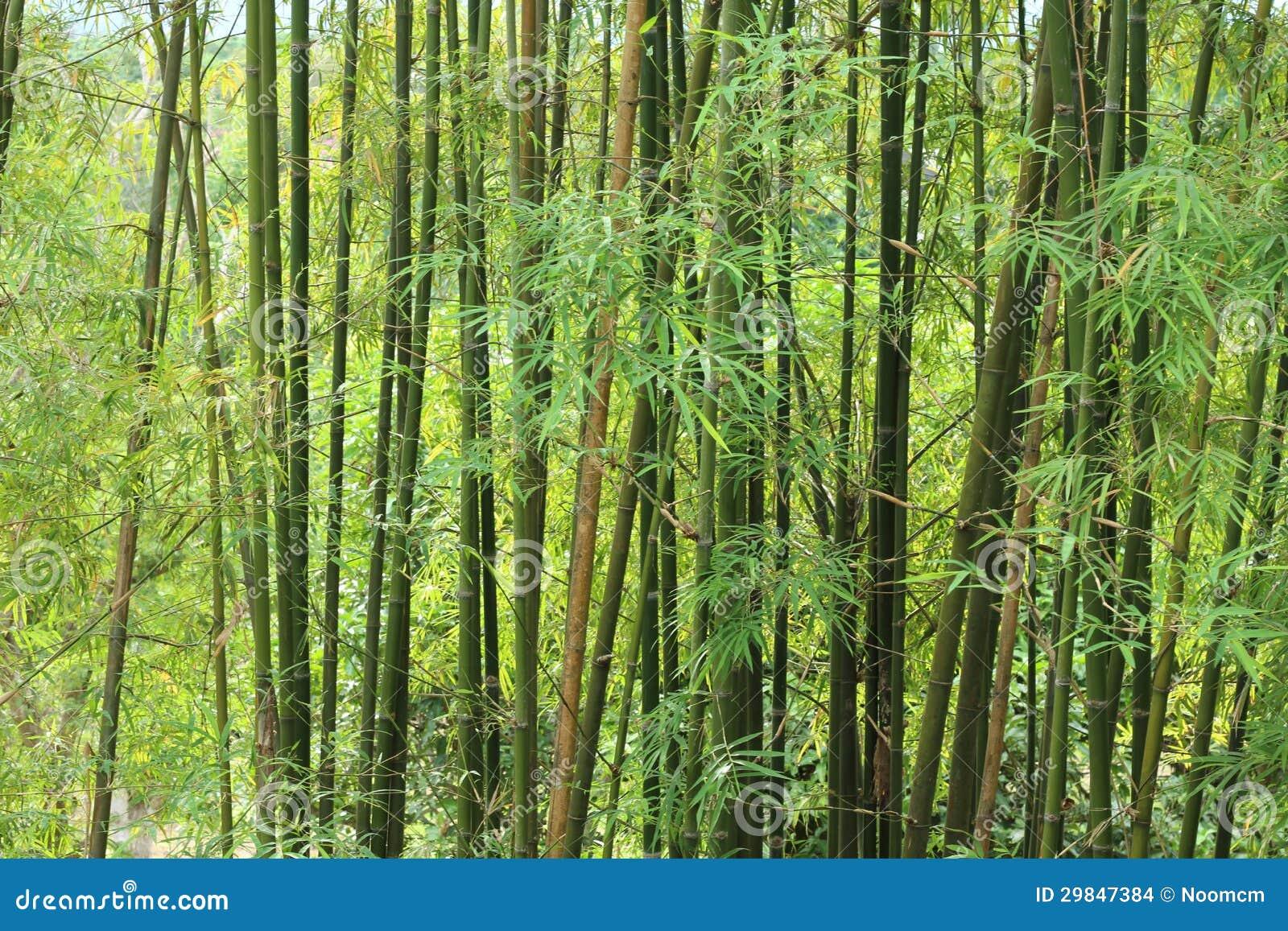 Fundo de árvores de bambu verdes