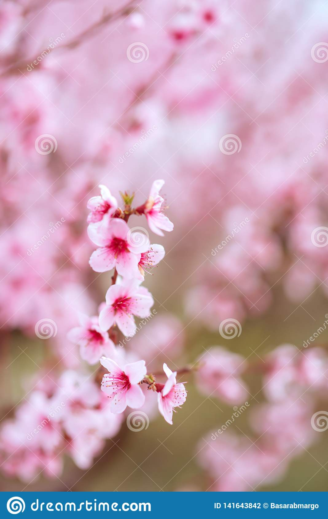 Fundo de florescência das rosas do verão