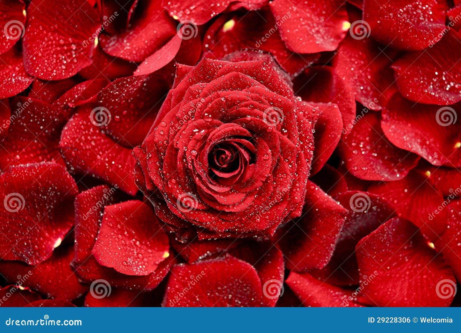 Download Fundo de Rosa vermelha foto de stock. Imagem de backdrop - 29228306