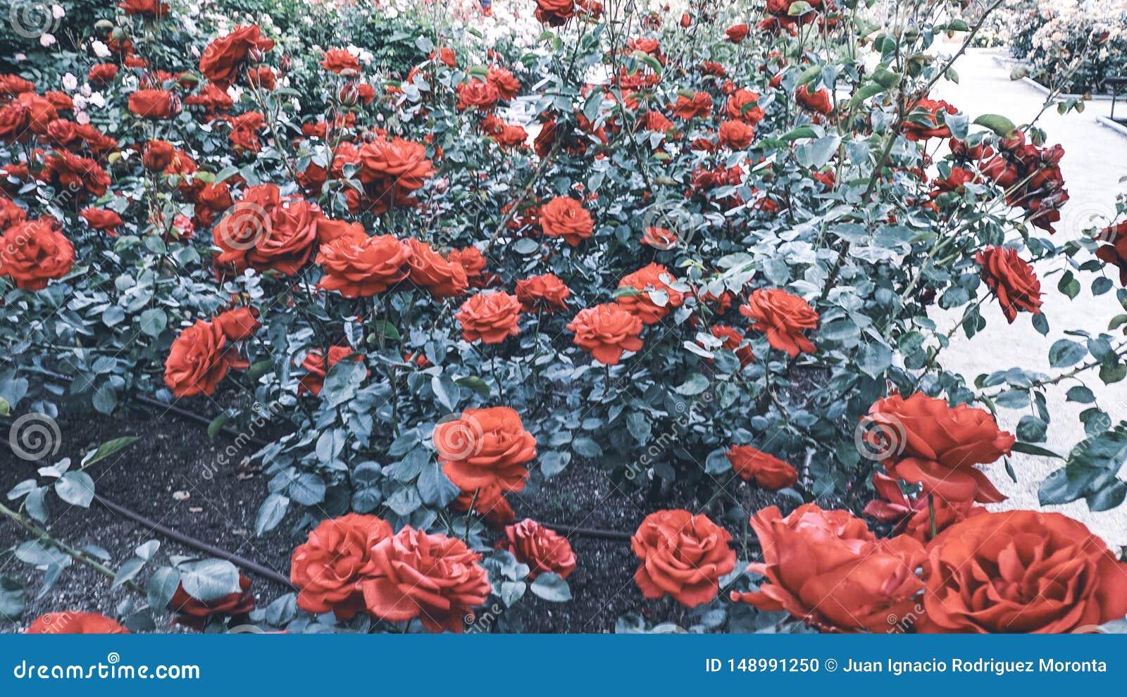 Fundo de Rosebush de rosas vermelhas