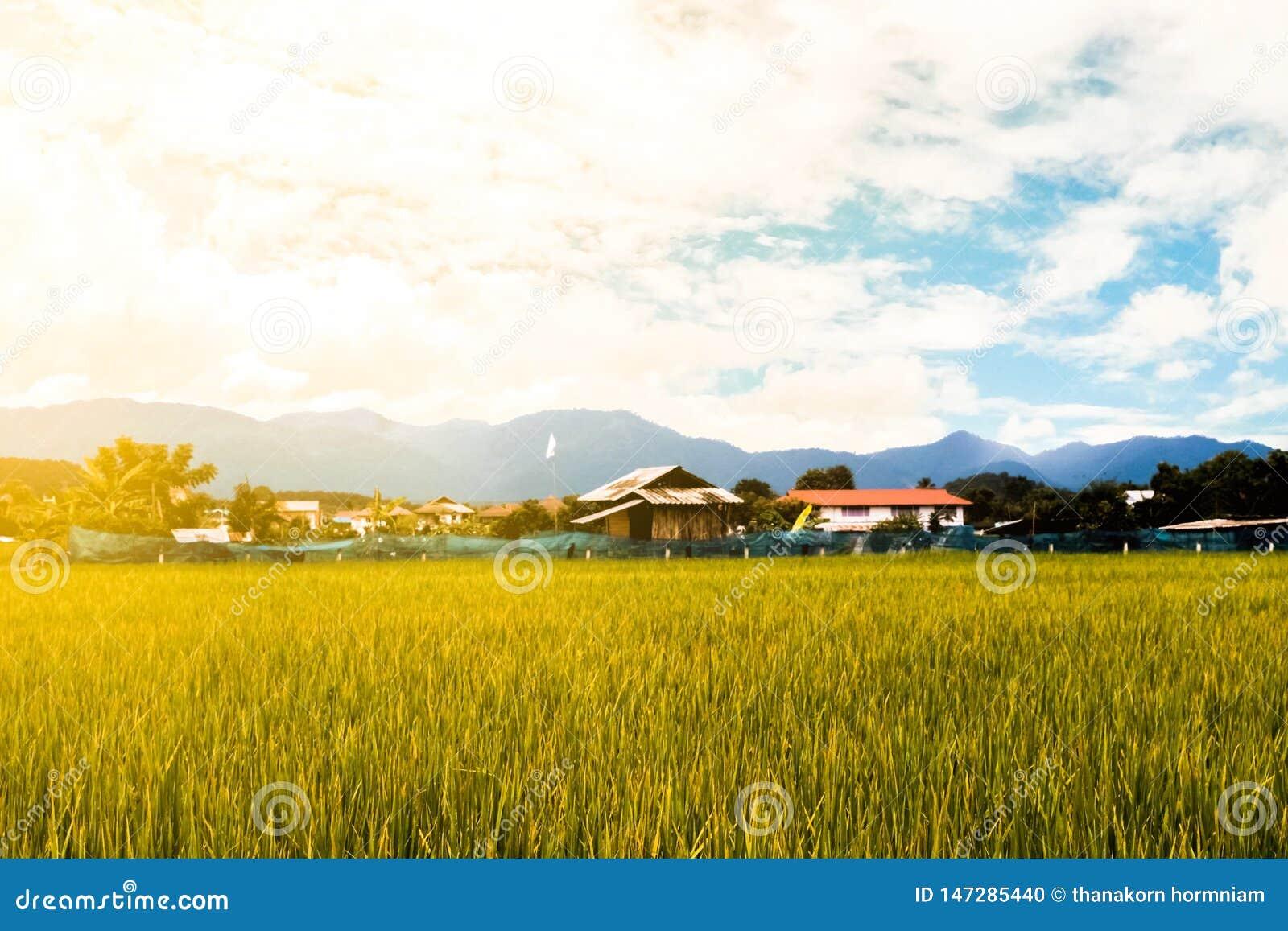 Fundo do campo do arroz