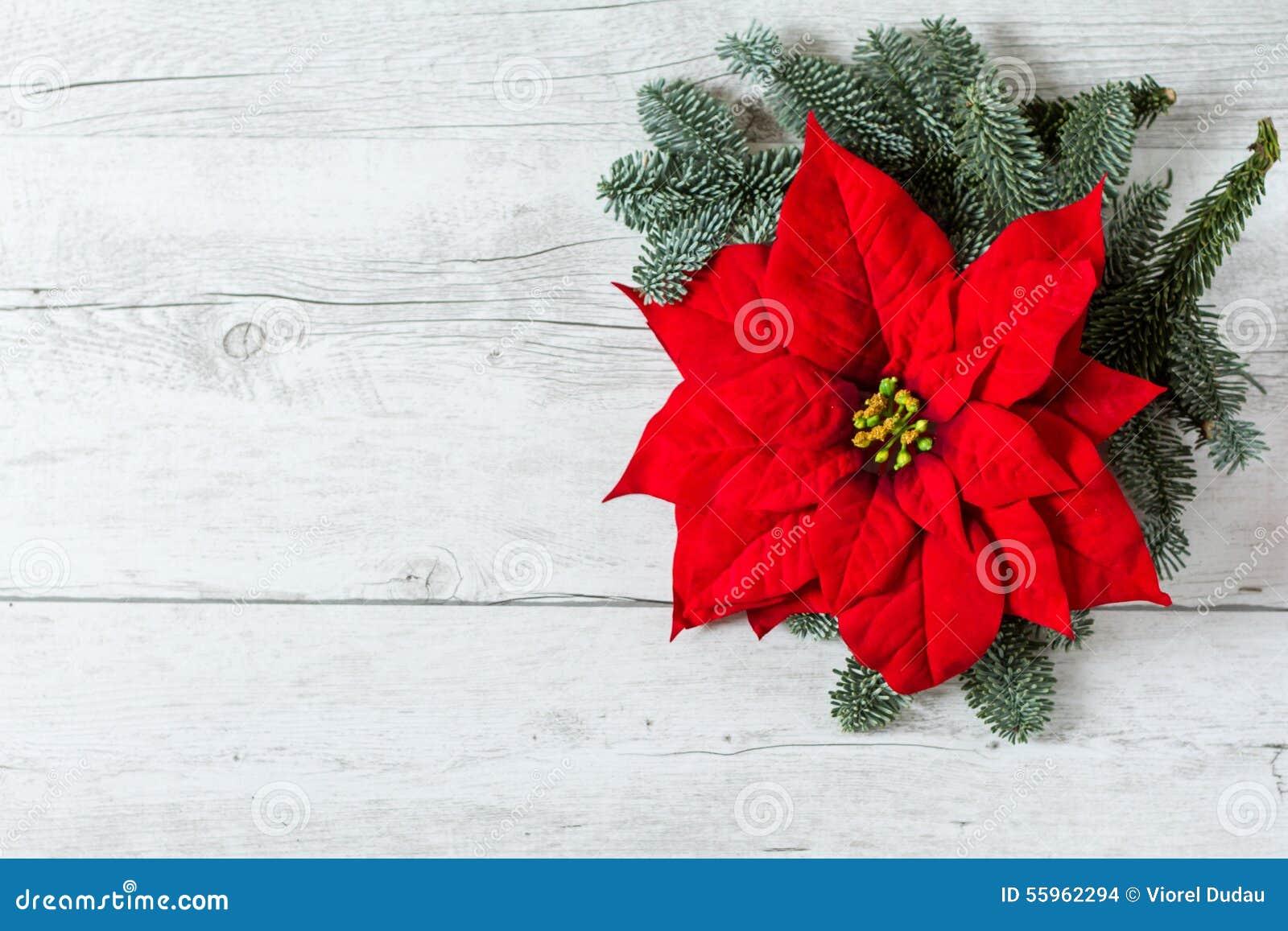 Fundo do Natal com a flor da estrela da poinsétia