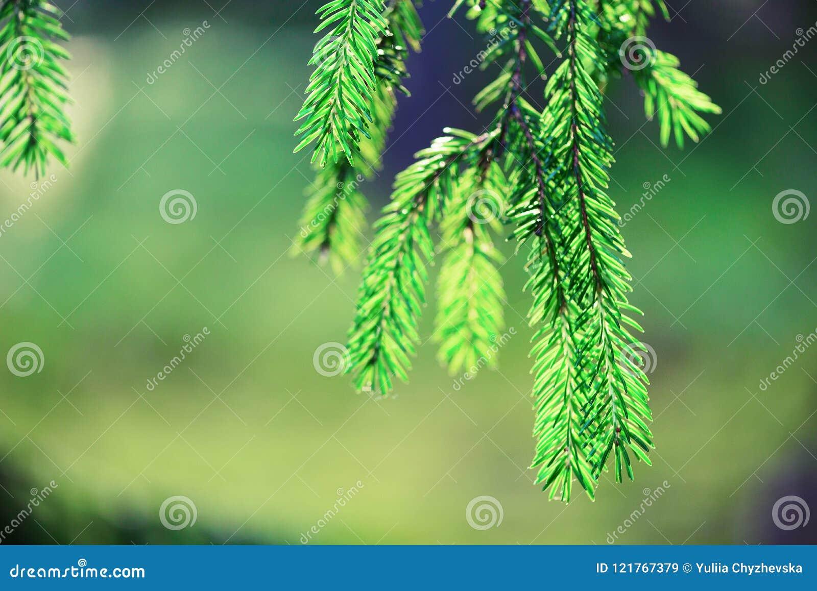 Fundo do pinheiro, do foco seletivo, o obscuro e do bokeh Copie o espaço bandeira Orvalho da manhã no galho, natural abstrato