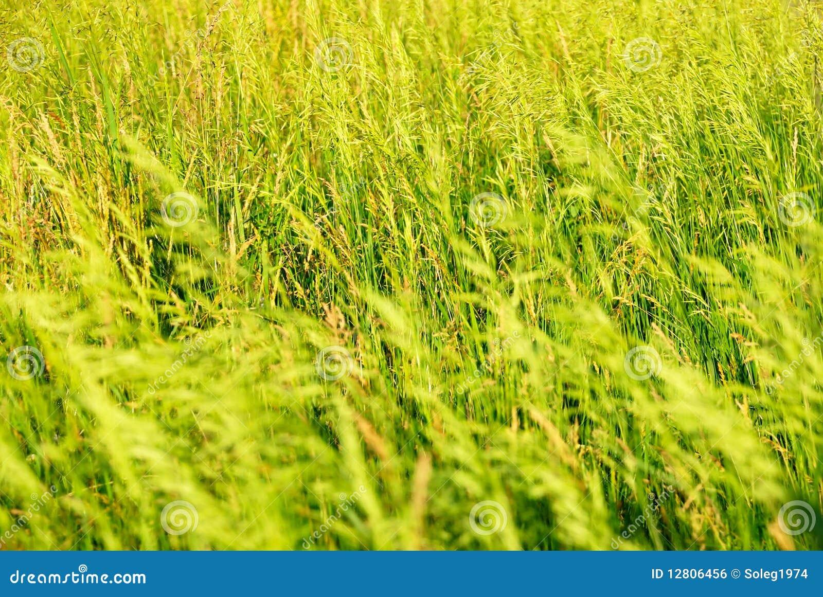 Fundo do verão de uma grama