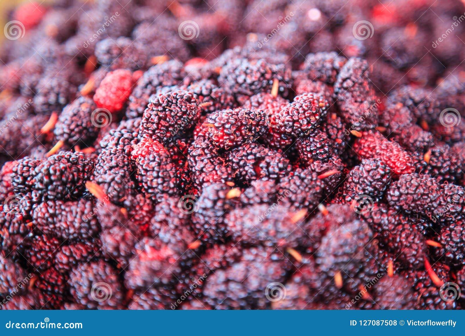 Fundo doce roxo vermelho e escuro maduro do fruto da amoreira do sabor Os benefícios de saúde das amoreiras incluem, para melhora