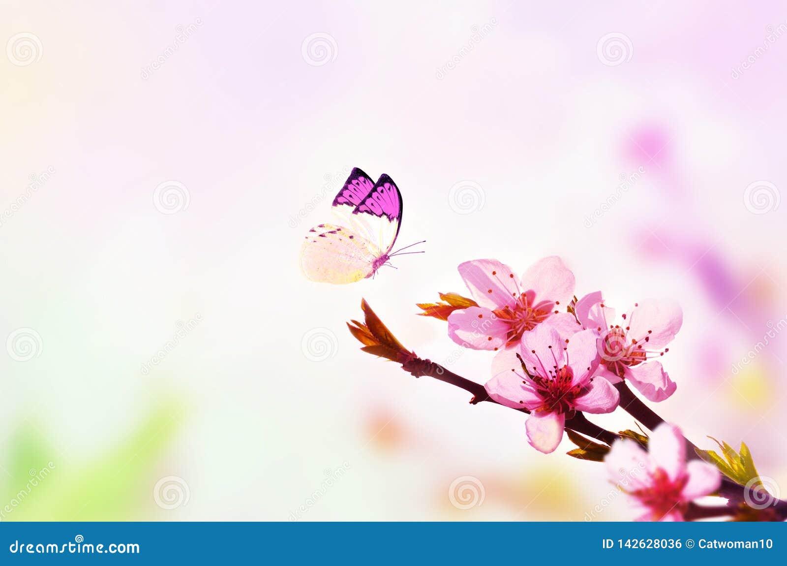 Fundo floral bonito do sum?rio da mola da natureza e da borboleta Ramo do p?ssego de floresc?ncia em claro - fundo cor-de-rosa do