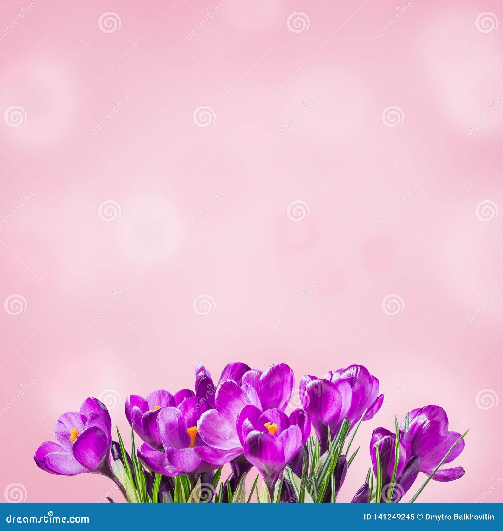 Fundo floral de Sprind com açafrões