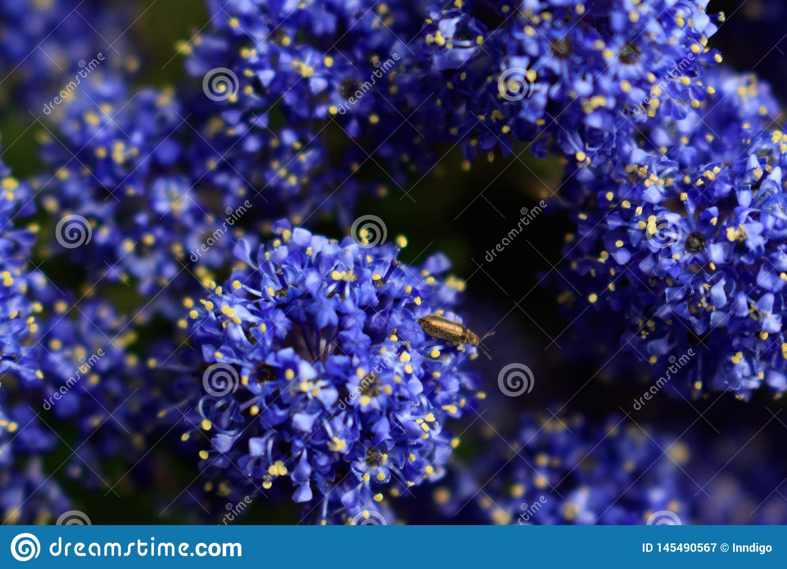 Fundo floral do índigo azul O tiro macro do lilás de Califórnia visitou pelo inseto