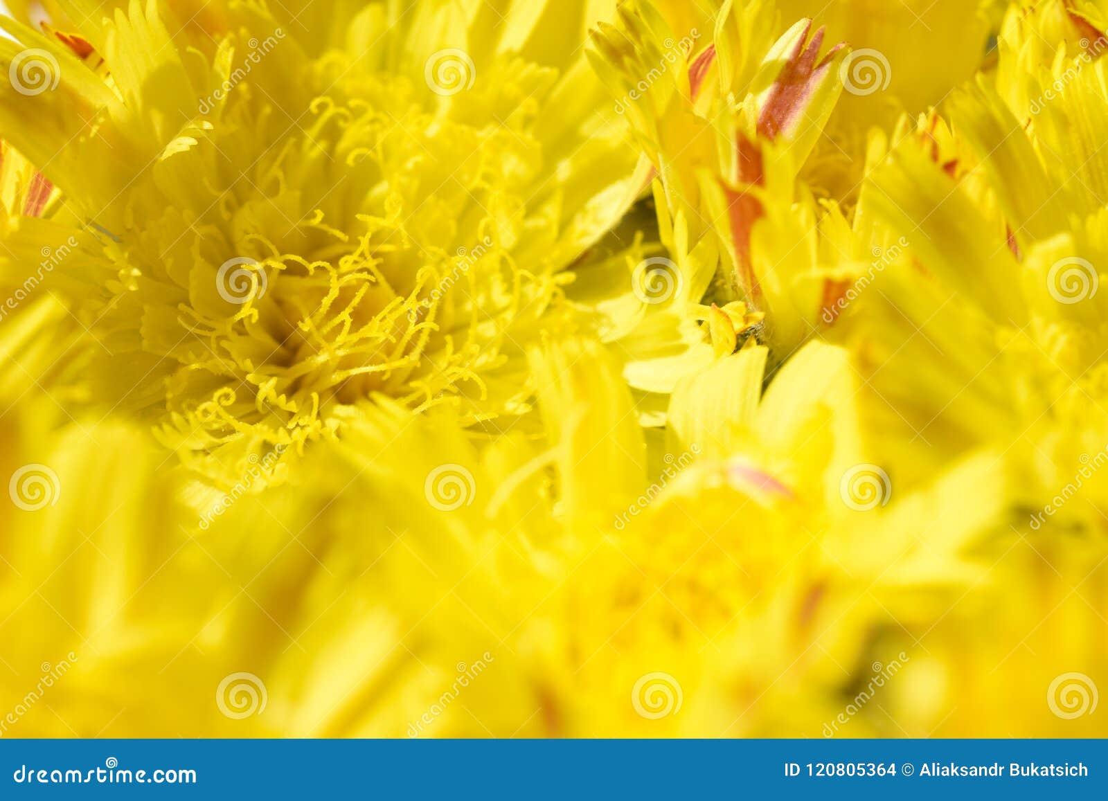 Fundo isolado da margarida amarela das flores com um núcleo amarelo e umas pétalas alaranjadas