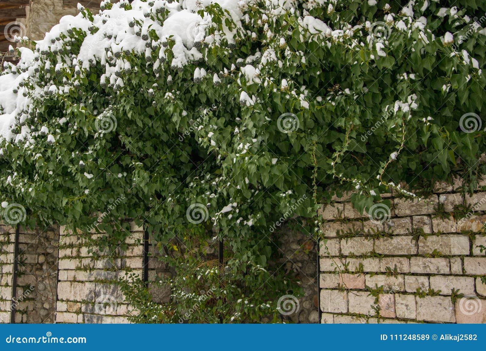 Fundo natural da hera nevado na parede de pedra