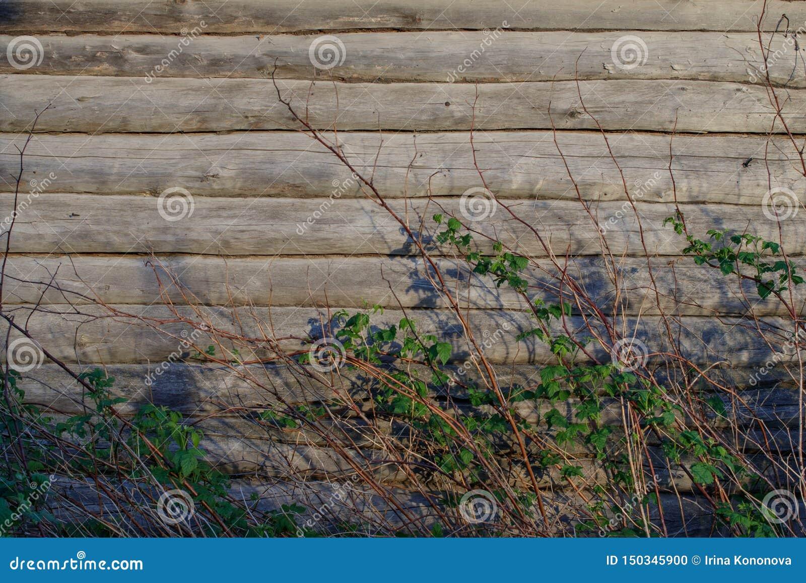 Fundo A parede de uma casa de log velha Os arbustos de framboesa secam os galhos e os ramos com folhas