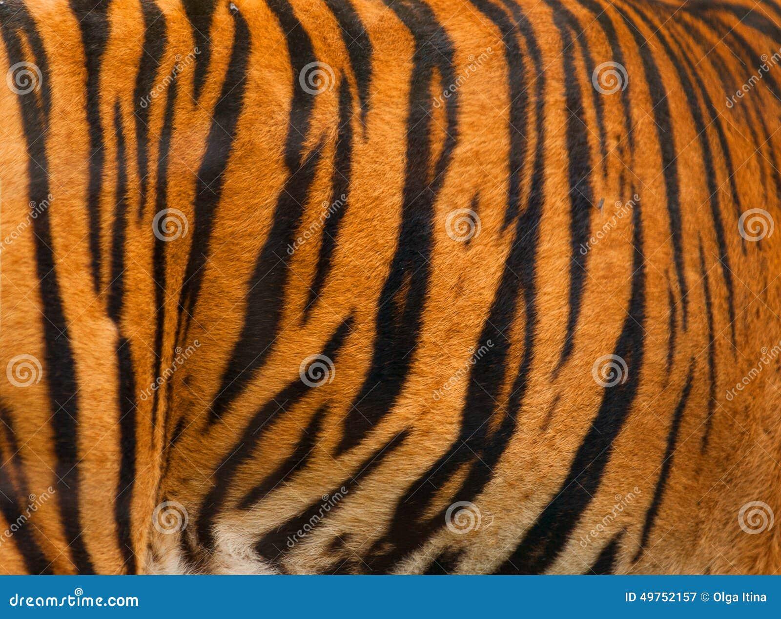 Fundo real do teste padrão listrado da textura da pele do tigre