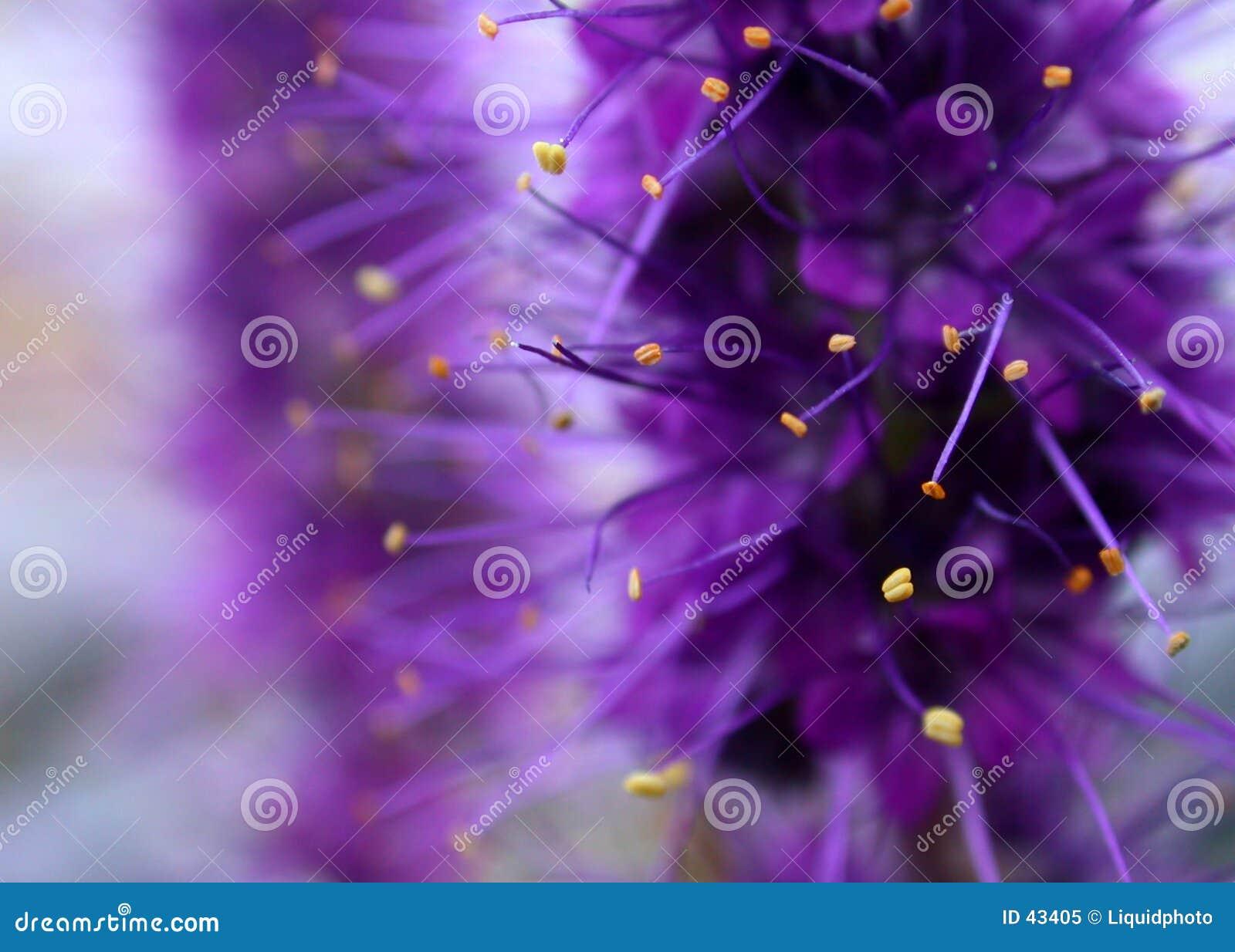 Fundo roxo da flor