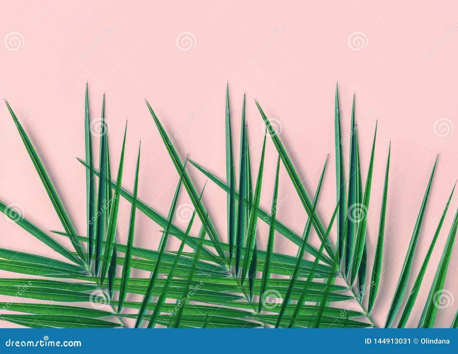 Fundo tropical da natureza Folhas de palmeira verdes pl?meos pontudo em claro - fundo cor-de-rosa da parede Decora??o interior da