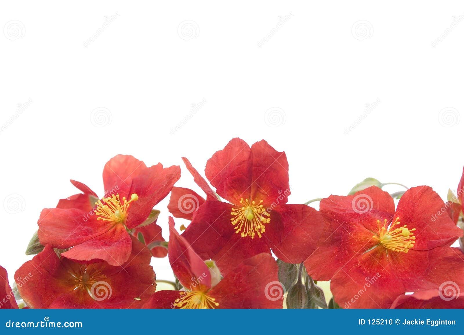 Fundo vermelho 1 da flor