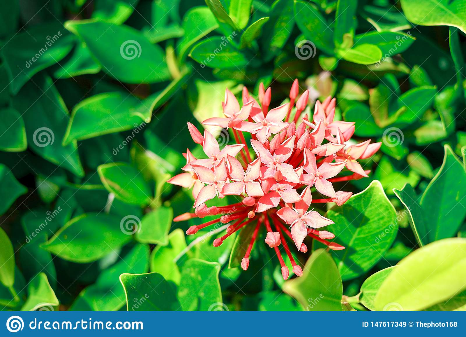 Fundo Vermelho-cor-de-rosa da flor no verão