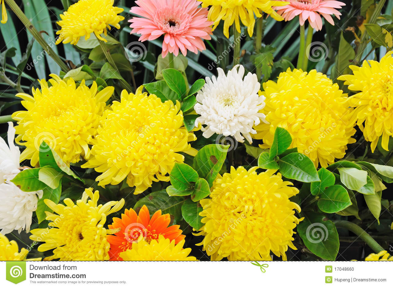 Funeral flowers stock images 5149 photos funeral flowers for condolences chinese funeral flowers for condolenceswhite and yellow chrysanthemum stock izmirmasajfo Choice Image