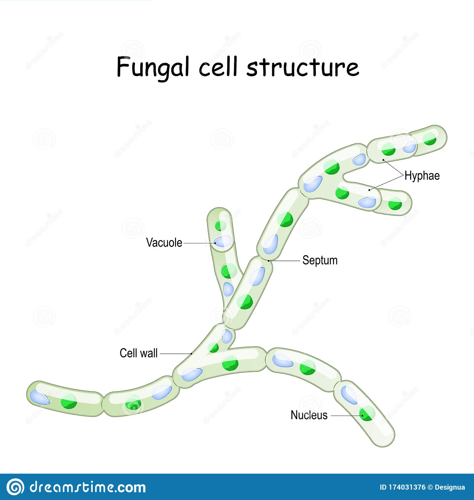 Fungal Cell Structure  Fungi Hyphae With Septa Stock