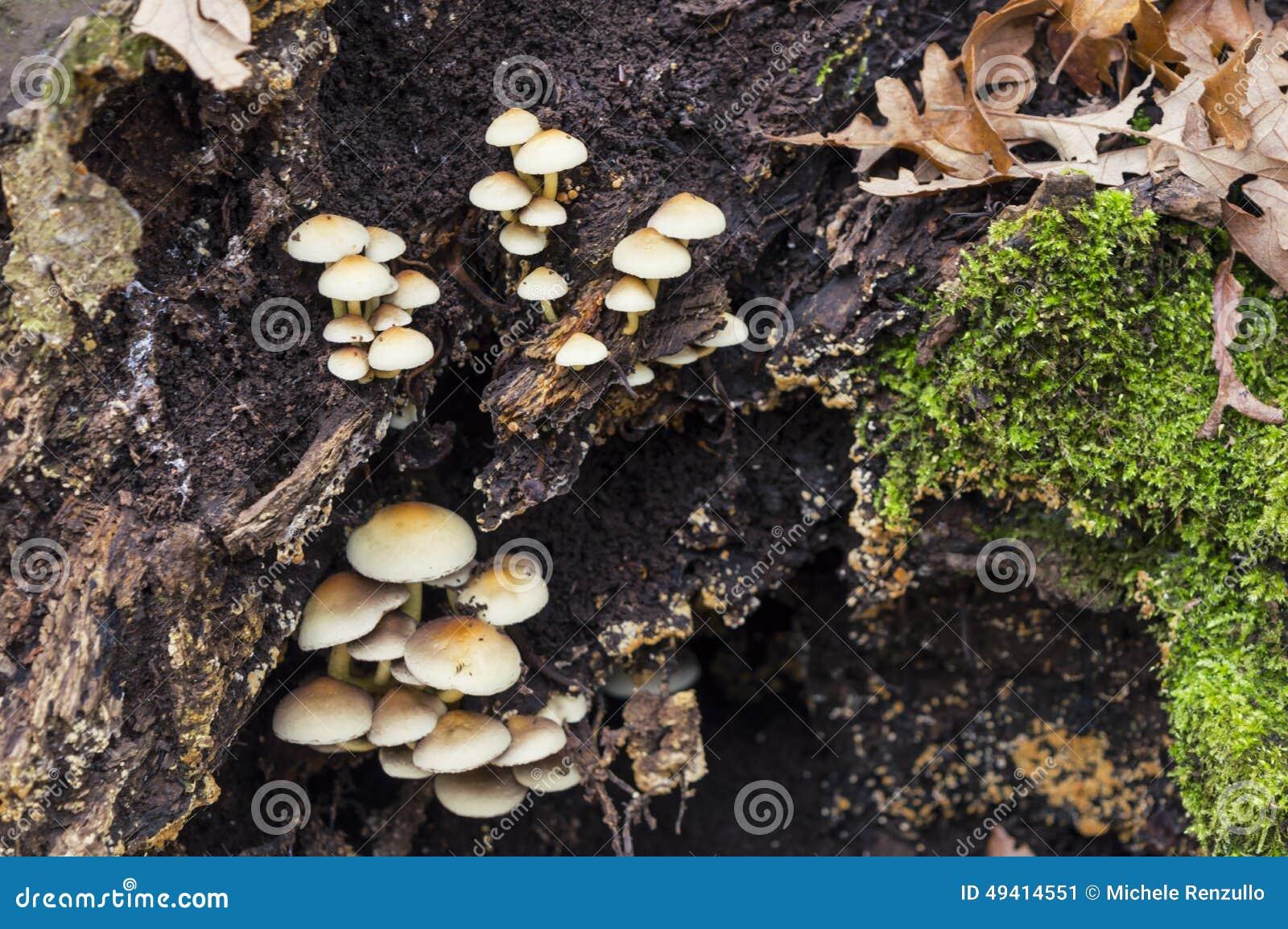 Download Funghi stockbild. Bild von pilz, frisch, makro, betrieb - 49414551