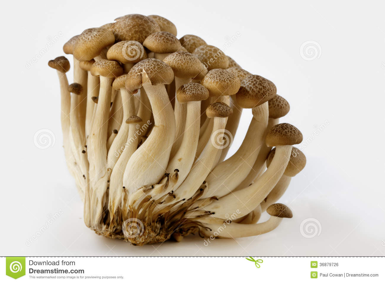 Download Funghi del faggio di Brown fotografia stock. Immagine di brown - 36879726