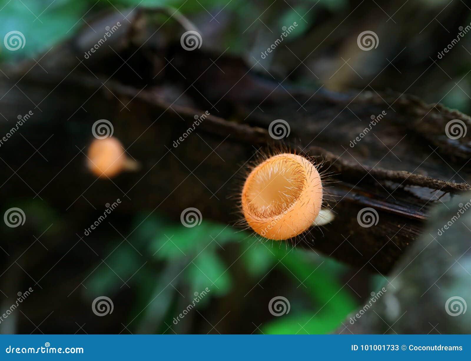 Funghi della tazza del ciglio sulla connessione decomposta il parco nazionale della Tailandia, fuoco selettivo