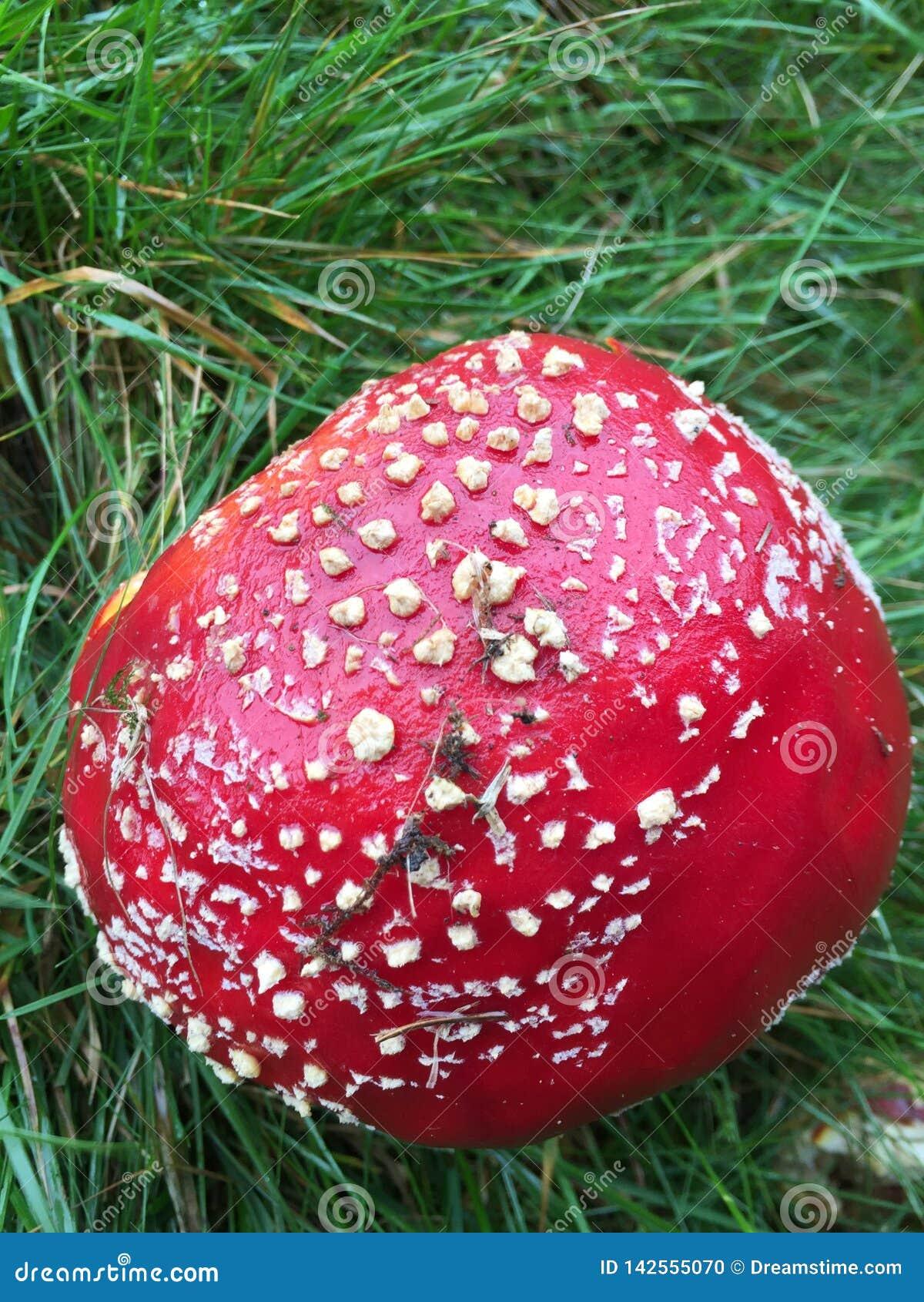 Funghi rossi dell agarico di mosca