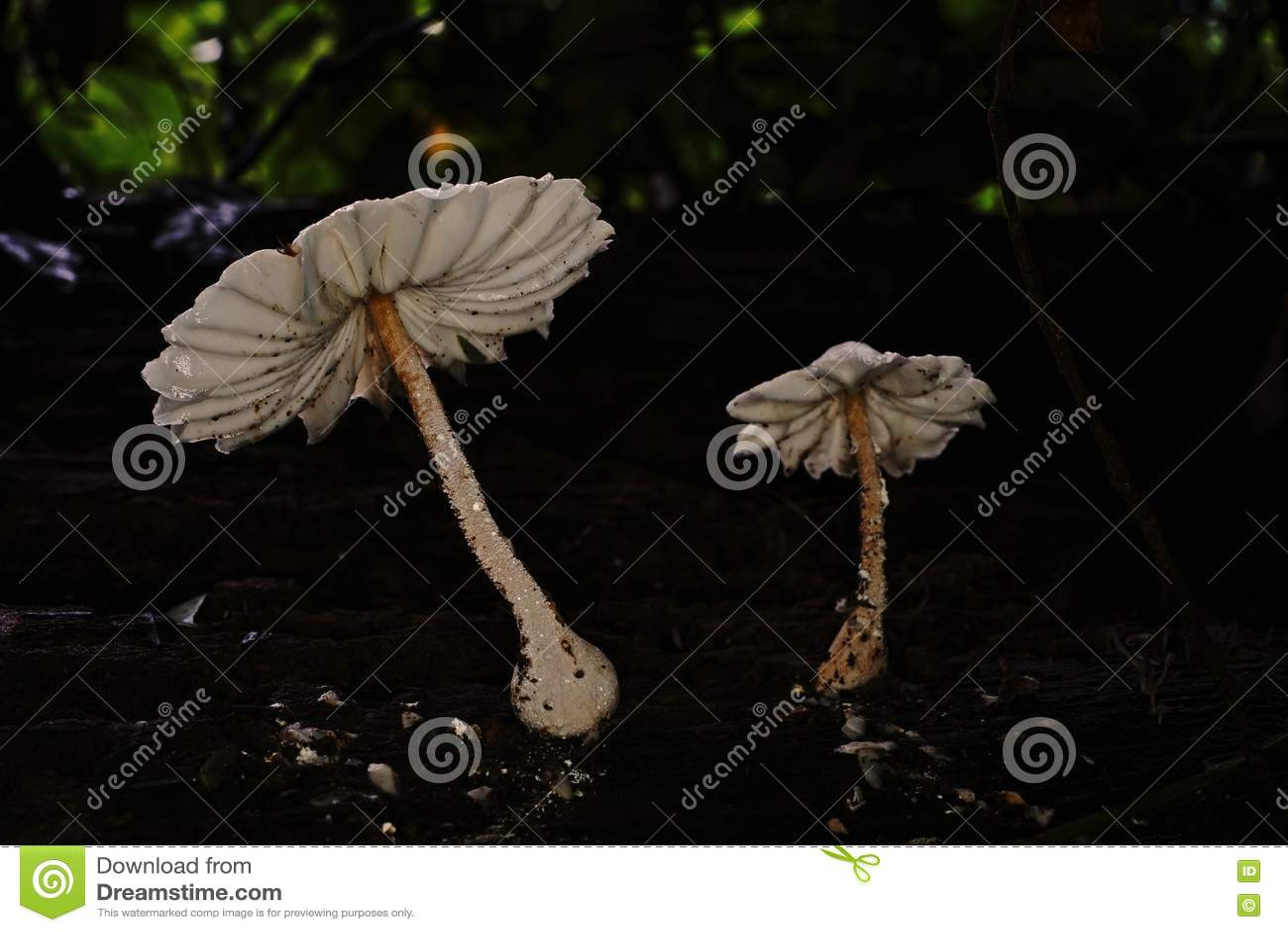 Fungo; branchie del fungo