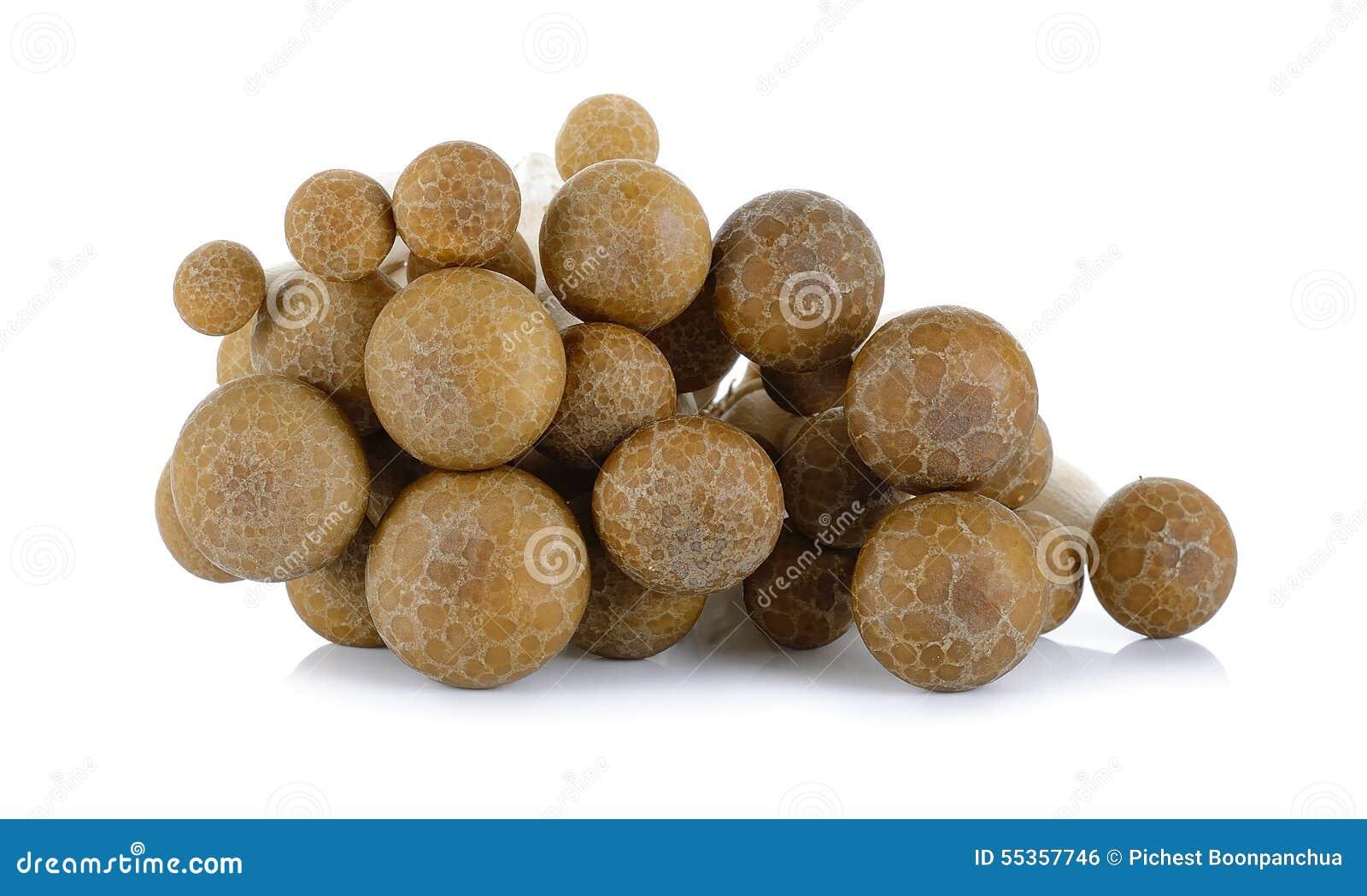 Fungo del faggio di Brown isolato sui precedenti bianchi