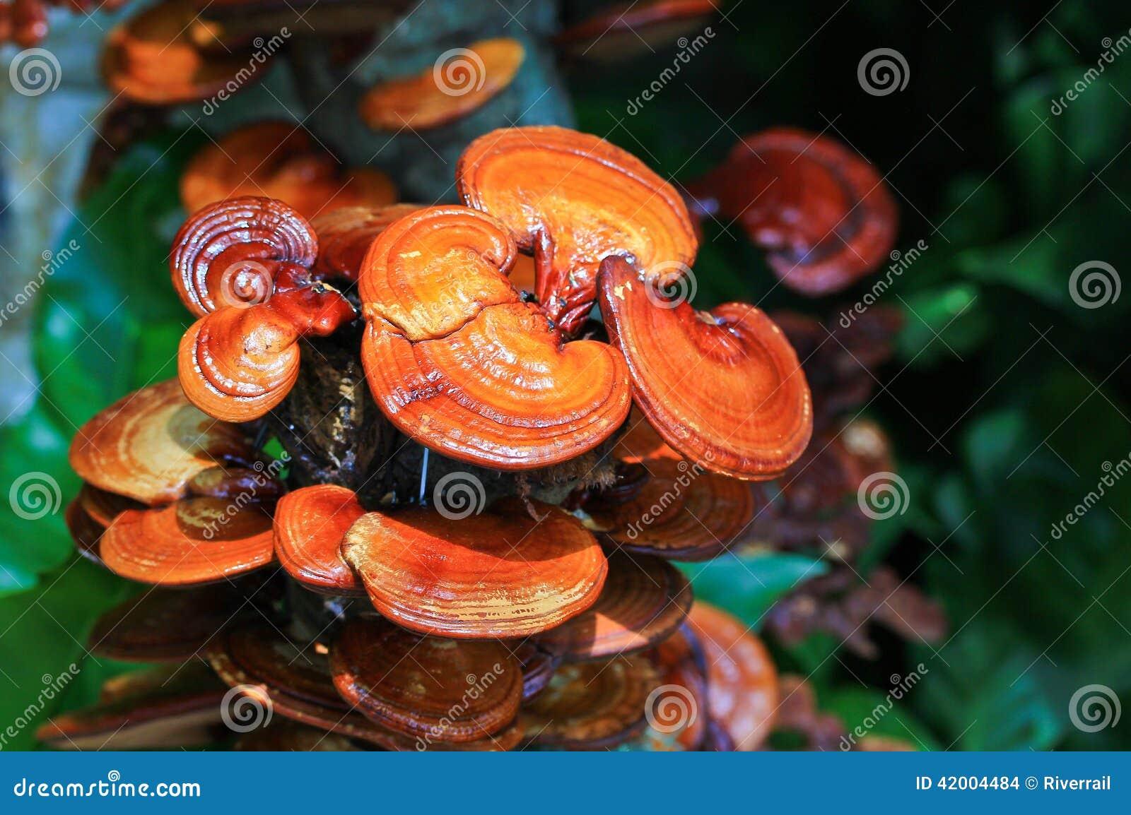 Fungo di ganoderma lucidum