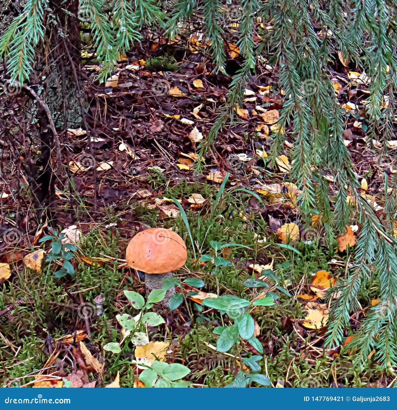 Fungo, foresta, caduta della foglia, albero